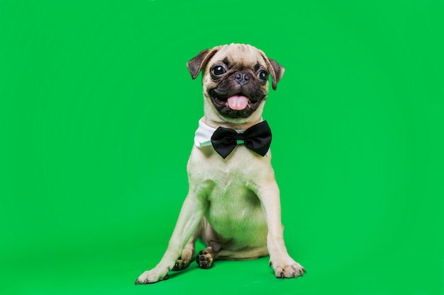 Adorable pug with bow tie sitting