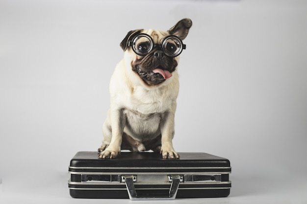 Adorable pug with glasses standing on a suitcase