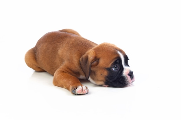 Adorable puppy lying on the floor