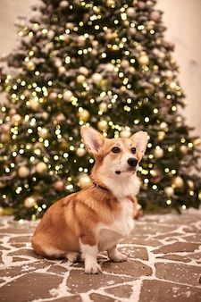 Adorable puppy welsh corgi pembroke celebrating merry christmas