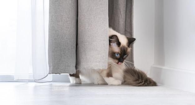 창가에 가까운 바닥에 앉아 집에서 커튼 뒤에 숨어있는 놀라운 아름다운 파란 눈을 가진 사랑스러운 래그 돌 고양이. 실내 자체를 핥는 품종 고양이 애완 동물의 초상화