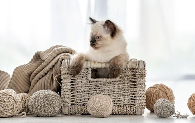 毛糸の玉を持ってバスケットに座って、日光の下で部屋を振り返る愛らしいラグドールの子猫。一人で家にいる美しい子猫
