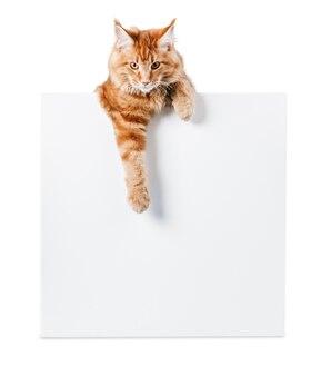Очаровательный рыжий кот с пустой картой на белом фоне