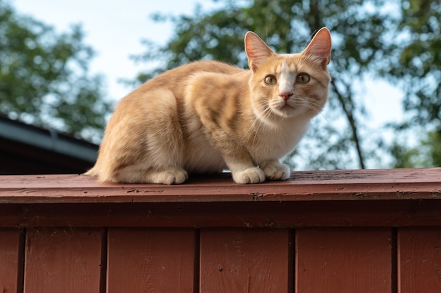 Adorable red cat with long tail sits on wooden fence against green tree and blue sky at summer, sunset time