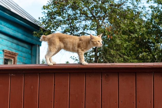 Adorable red catgoes on vintage wooden fence against green tree and blue sky at summer, sunset time