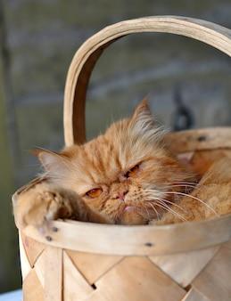 Очаровательная красная домашняя персидская кошка сидит в плетеной корзине, концепция любви домашних животных