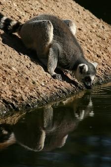 動物園の愛らしいワオキツネザルの飲料水