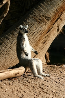 Adorabile lemure dalla coda ad anelli seduto sul legno nello zoo