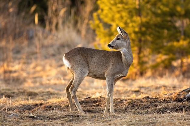 Adorable roe deer doe looking behind and standing on meadow in springtime.