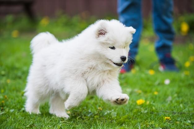 잔디밭을 달리는 사랑스러운 사모예드 강아지