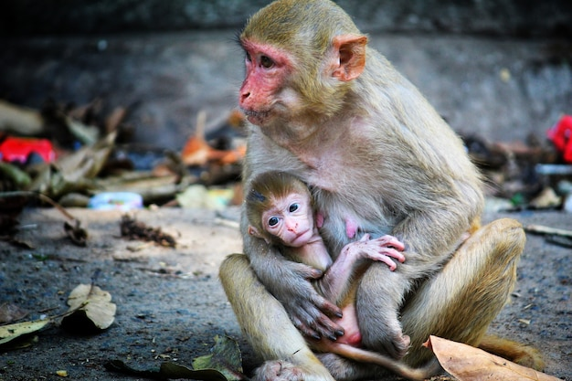 Adorable scene of a mother monkey sitting on the ground and taking care of her baby