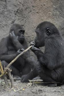 두 아기 silverback 고릴라의 사랑스러운 샷