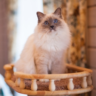 Adorable siberian fluffy cat with blue eyes  indoors