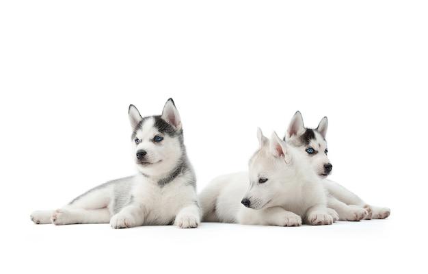 Очаровательный щенок сибирского хаски, лежа на полу