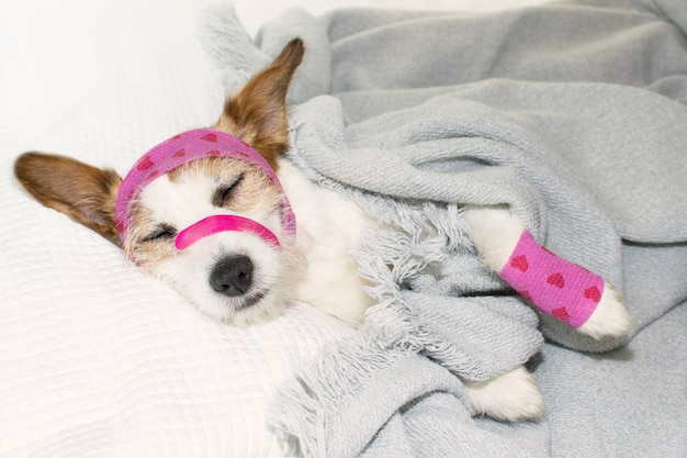 Adorable sick dog sleeping or resting on bed