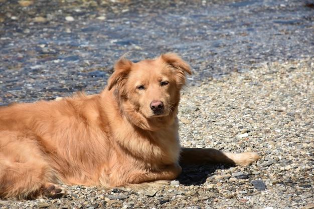 愛らしい眠そうな顔をした小さな赤いアヒルの犬がビーチで休んでいます。