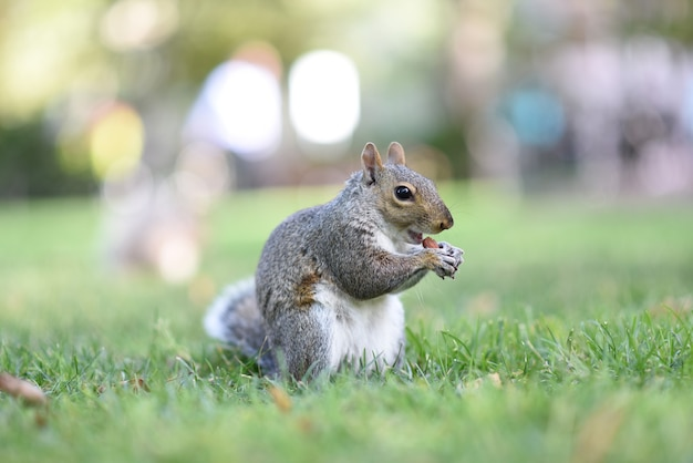 Adorable small squirrel chewing in a park