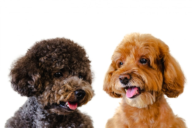 Adorable smiling brown and black toy poodle dogs on white background.