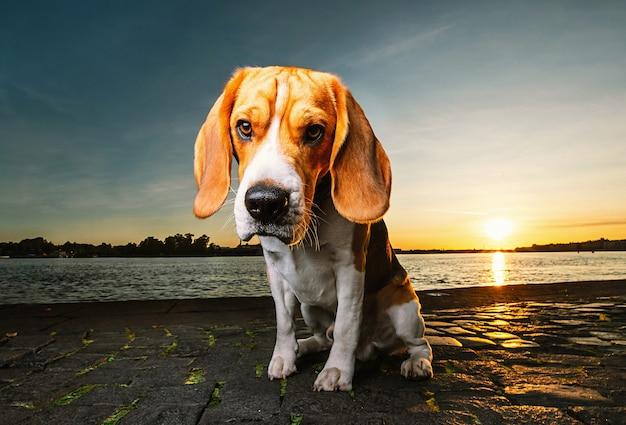 夕焼けの光の中で波状の川の空の堤防に悲しいことに座っている愛らしいスポットビーグル犬