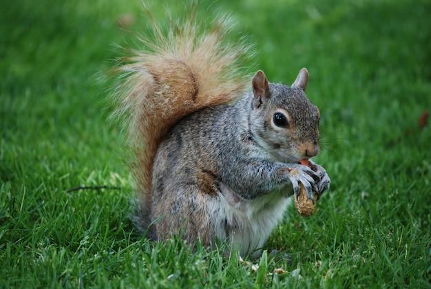 야생에서 두꺼운 푹신한 꼬리를 가진 사랑스러운 다람쥐.