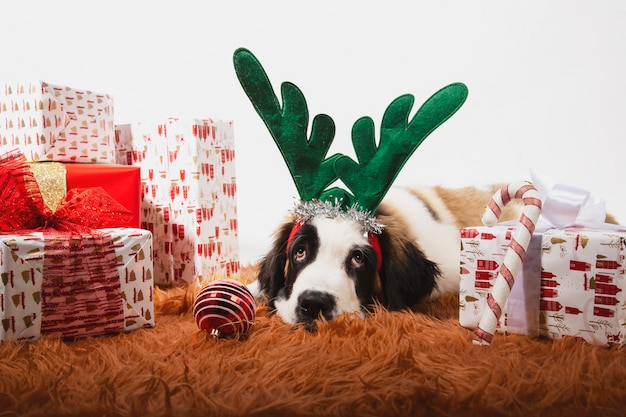 Очаровательный щенок сенбернара на земле с оленьими рогами и в окружении обернутых подарочных коробок.