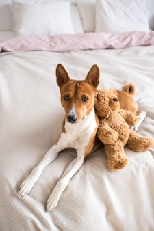 Adorable and sweet, little puppy of basenji breed lays on bed with pink sheets, cuddles together with brown teddy bear