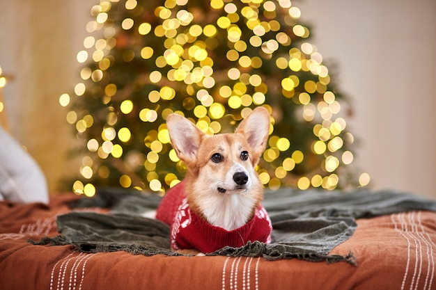 Adorable welsh corgi pembroke in a red knitted sweater celebrating happy new year and merry christmas