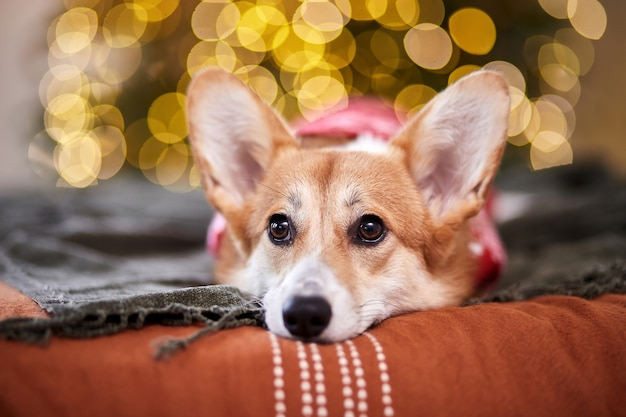 Adorable welsh corgi pembroke in a red knitted sweater celebrating merry christmas