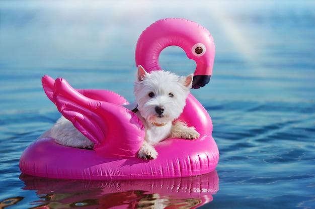 Прелестный вест хайленд терьер плавает на резиновых фламинго