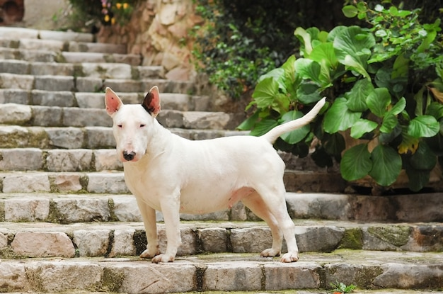 都会の石の階段に立っている愛らしい白いブルテリア犬