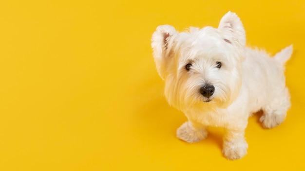 노란색에 고립 된 사랑스러운 흰 개
