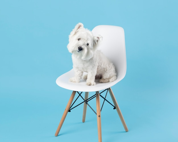 Adorable white dog sitting on a chair