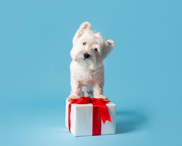 Очаровательная белая собака с подарком