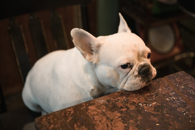 Adorable white french bulldog sitting and looking on a chair