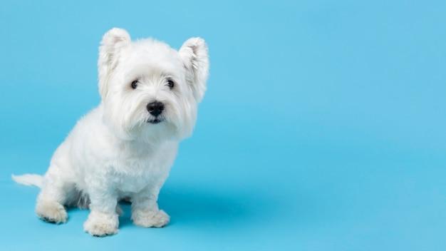 青に分離された愛らしい白い子犬