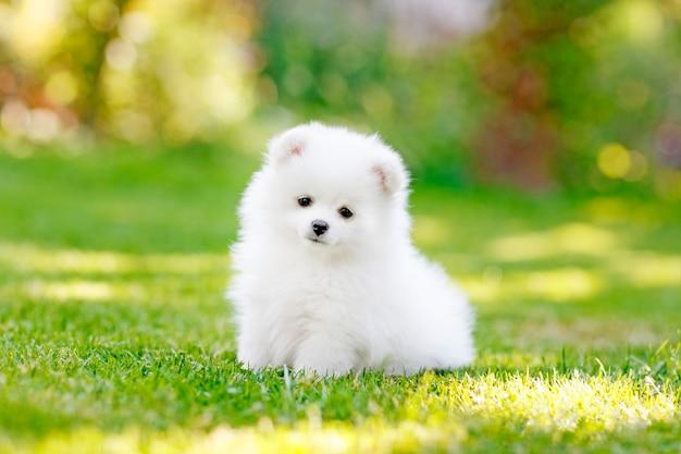 Очаровательны белый померанский шпиц щенок