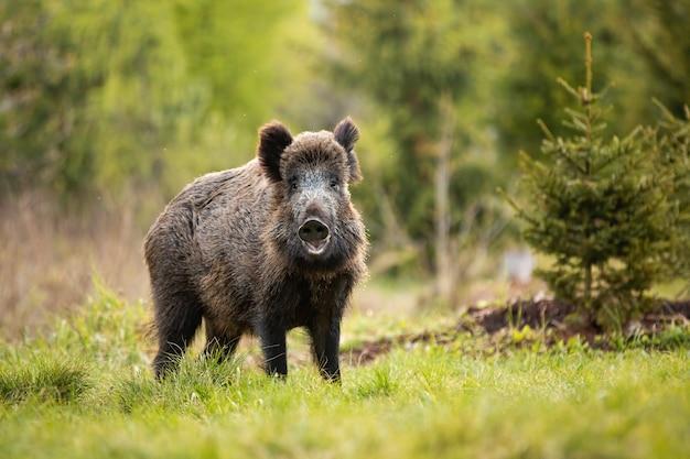 Очаровательный кабан, sus scrofa позирует и улыбается в камеру в лесу Premium Фотографии