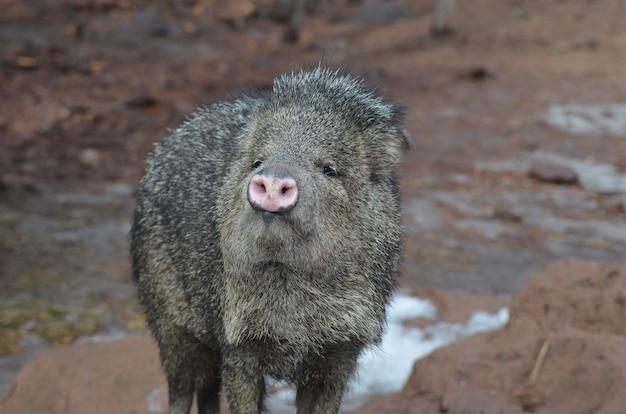 Очаровательная дикая свинья javerline стоит на грязи