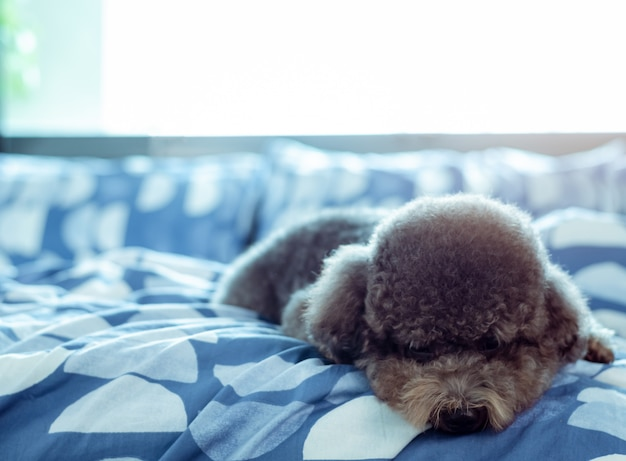 An adorable young black poodle dog lay on bed alone with sadly face after wake up in the morning