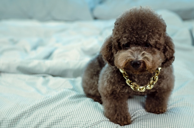 An adorable young black poodle dog wearing golden necklace and sitting on messy bed.