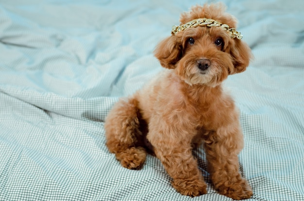 An adorable young brown poodle dog with golden necklace putting on his head and sitting on messy bed.