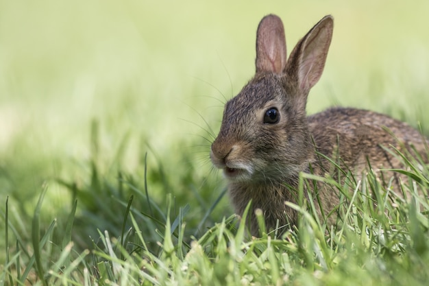 Adorable young eastern cottontail rabbit closeup in green grass