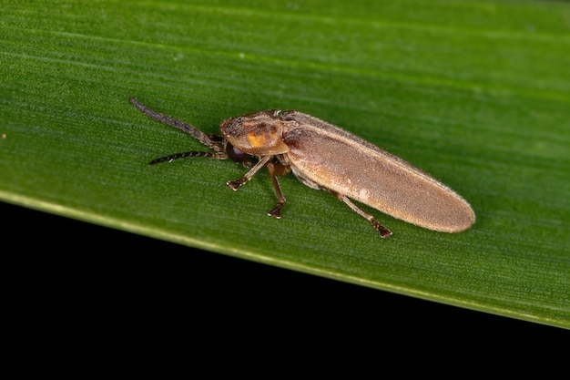 Adul firefly beetle of the family lampyridae