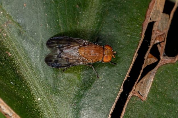 성인 acalyptrate fly of the zoosubsection acalyptratae