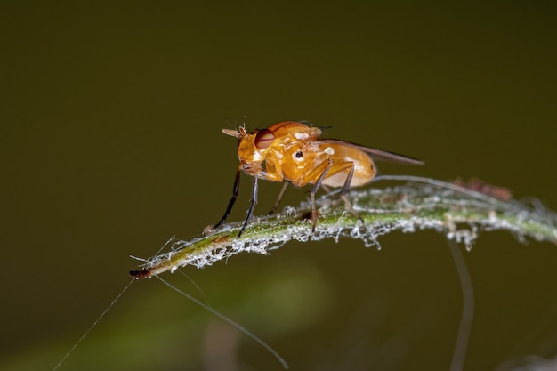 Adult acalyptrate fly of the zoosubsection acalyptratae