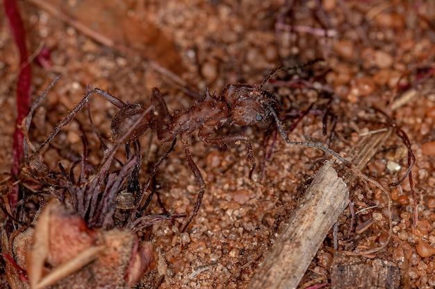 Adult acromyrmex leaf-cutter ant of the genus acromyrmex