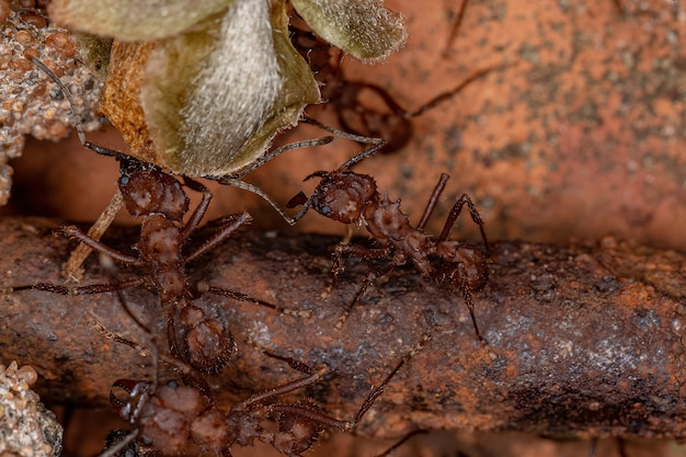 Acromyrmex 속의 성인 acromyrmex 잎깎이 개미