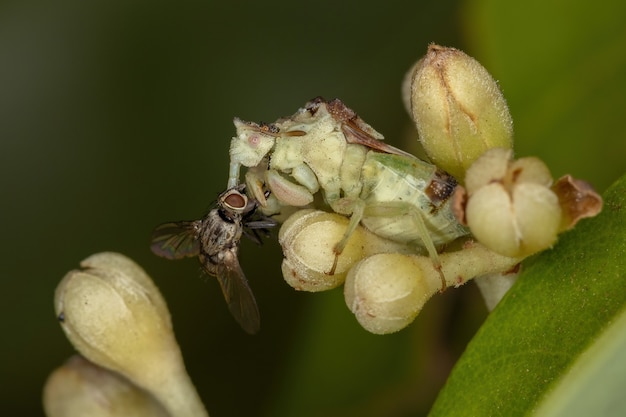 Adult ambush bug of the subfamily phymatinae on cinnamon flower buds preying on a bristle fly of the family tachinidae