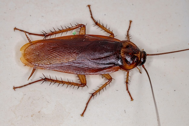 Periplaneta americana 종의 성인 미국 바퀴벌레