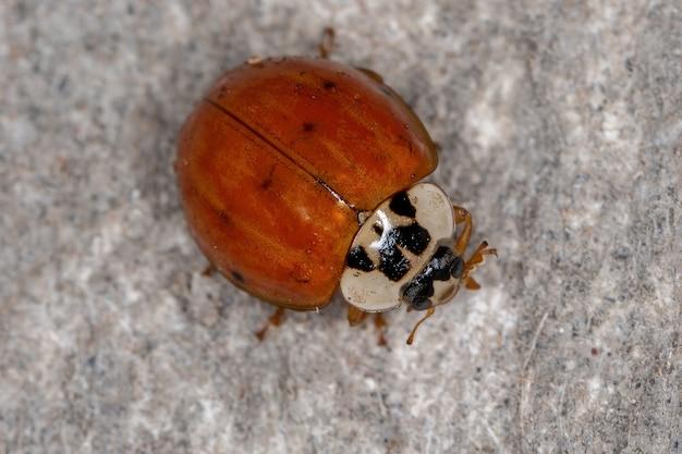 Adult asian lady beetle of the species harmonia axyridis